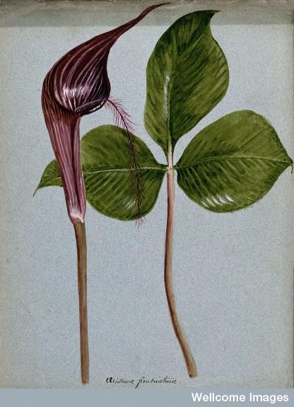 V0043259 Cobra-lily (Arisaema fimbriatum): inflorescence and leaf. Wa